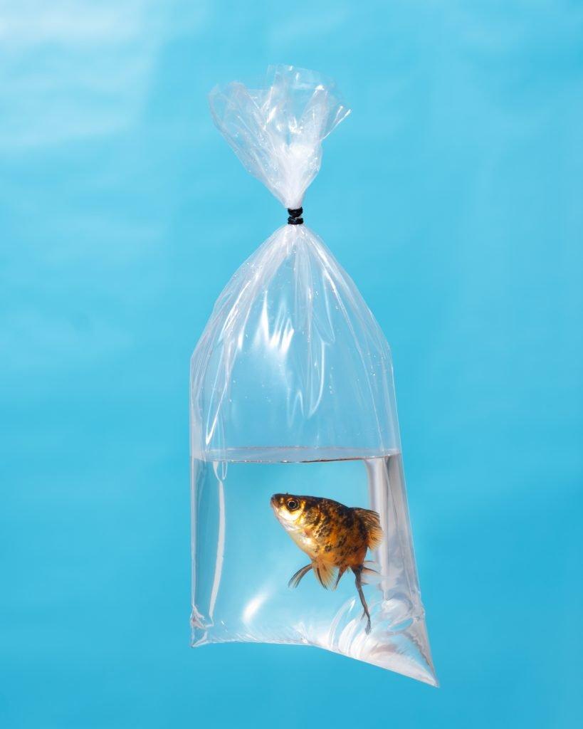 Dark Calico Goldfish in a Bag, 2020