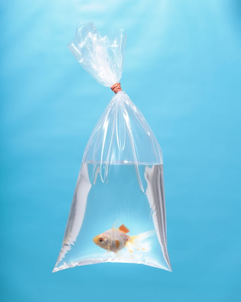 White Oranda Goldfish in a Bag, 2020